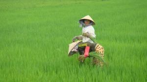 through the rice paddies